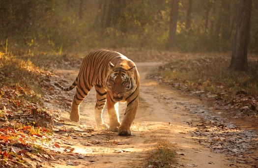 Royal_Bengal_Tiger_Kanha_