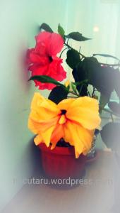 rosu si galben flori surori